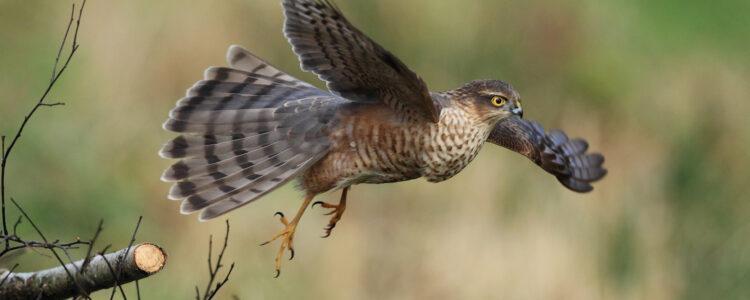 bird-raptor-sparrowhawk