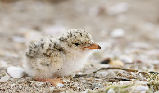 bird-chick-littletern