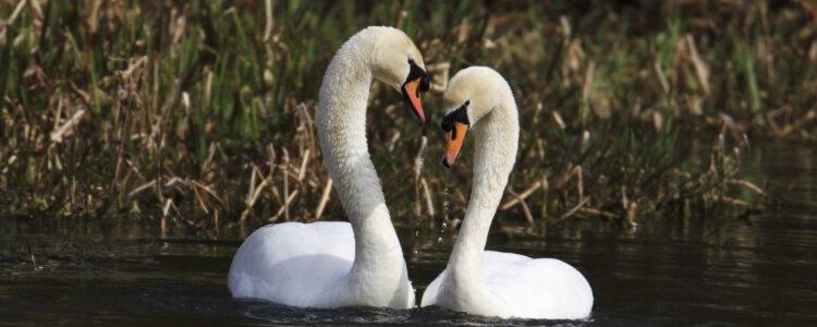 bird-waterbird-swan
