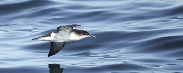 bird-seabird-ManxShearwater